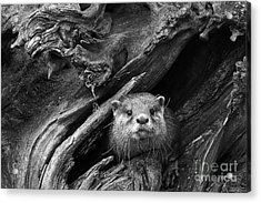 Acrylic Print featuring the photograph Curious River Otter by Inge Riis McDonald