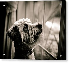 Curious Schnoodle Acrylic Print by Jon Woodhams