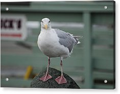 Curious Seagull Acrylic Print by Kathy Paynter