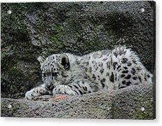 Curious Snow Leopard Cub Acrylic Print