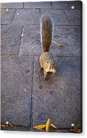 Curious Squirrel Acrylic Print by Michele Stoehr
