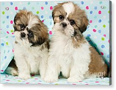 Curious Twins Acrylic Print by Greg Cuddiford