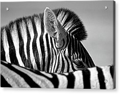 Curious Zebra Acrylic Print by Marc Pelissier