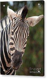Curious Zebra Acrylic Print