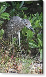 Curiously Night Heron Chick Acrylic Print by Christiane Schulze Art And Photography