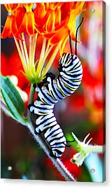 Curly Caterpiller Acrylic Print by Betsy Straley