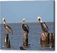 Curly Moe And Larry Pelicans Acrylic Print