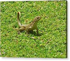 Curly-tailed Lizard Acrylic Print