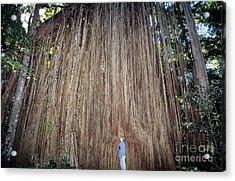 Curtain Fig, Australia Acrylic Print
