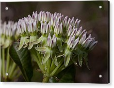 Acrylic Print featuring the photograph Curtiss' Milkweed #3 by Paul Rebmann