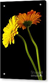 Curvaceous Daisies Acrylic Print by Pattie Calfy