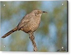 Curve-billed Thrasher Acrylic Print