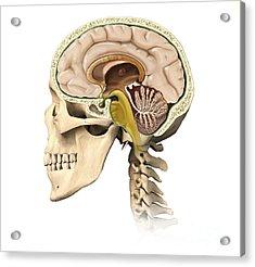 Cutaway View Of Human Skull Showing Acrylic Print by Leonello Calvetti
