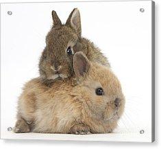Cute Baby Netherland Dwarf Rabbits Acrylic Print by Mark Taylor