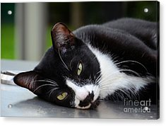 Cute Black And White Tuxedo Cat With Nipped Ear Rests  Acrylic Print