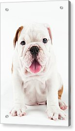 Cute Bulldog Puppy On White Background Acrylic Print by Peter M. Fisher