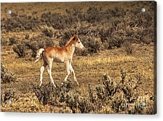 Cute Colt Wild Horse On Navajo Indian Reservation  Acrylic Print