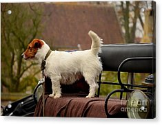 Cute Dog On Carriage Seat Bruges Belgium Acrylic Print by Imran Ahmed