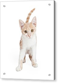 Cute Domestic Shorthair Kitten Standing  Acrylic Print