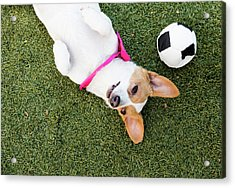 Cute Jack Russell-dachshund Mix With A Acrylic Print by Amandafoundation.org