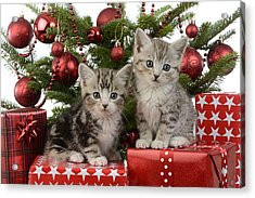 Cute Kitten Xmas Presents Acrylic Print by Greg Cuddiford