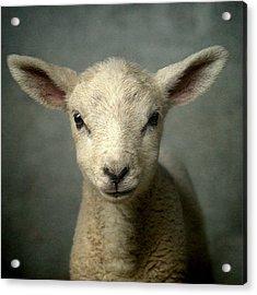 Cute New Born Lamb Acrylic Print by Bob Van Den Berg Photography