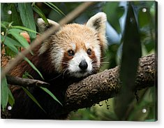 Cute Panda Acrylic Print by Fotosas Photography