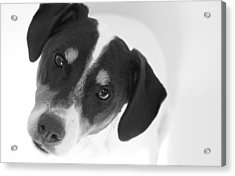 Cute Pose Jack Russell Terrier Acrylic Print by Natalie Kinnear