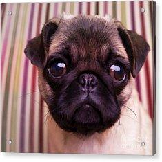 Cute Pug Puppy Acrylic Print by Edward Fielding