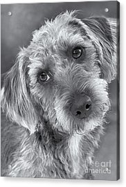 Cute Pup In Black And White Acrylic Print by Natalie Kinnear