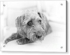 Cute Pup On Watch Acrylic Print by Natalie Kinnear