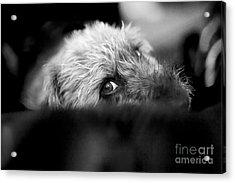 Cute Pup Sneek A Peek Acrylic Print by Natalie Kinnear
