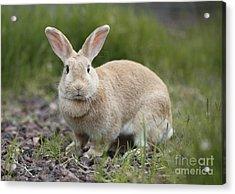 Cute Rabbit Acrylic Print