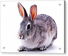Cute Rabbit Acrylic Print by Lanjee Chee