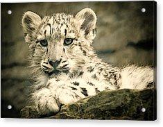 Cute Snow Cub Acrylic Print