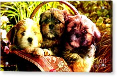 Cute Terrier Puppies Acrylic Print by Marvin Blaine