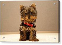 Cute Terrier Puppy Acrylic Print