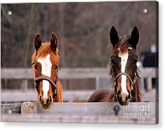 Cute Yearlings Acrylic Print