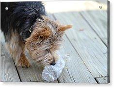 Cutest Dog Ever - Animal - 011314 Acrylic Print