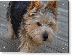 Cutest Dog Ever - Animal - 011328 Acrylic Print by DC Photographer