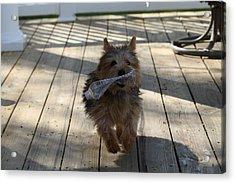 Cutest Dog Ever - Animal - 01134 Acrylic Print by DC Photographer