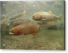 Cutthroat Trout In The Spring Idaho Acrylic Print