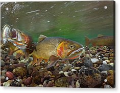 Cutthroat Trout Spawning In The Gros Acrylic Print