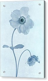 Cyanotype Windflowers Acrylic Print by John Edwards