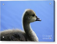 Acrylic Print featuring the photograph Cygnet by Alyce Taylor
