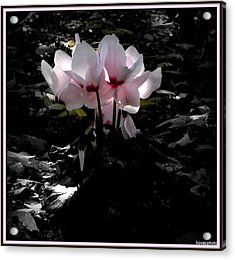Cylamen In Evening Light Acrylic Print