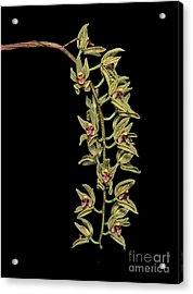 Cymbidium Devonianum Acrylic Print by Geoff Kidd