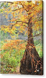 Cypress In Autumn Acrylic Print