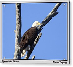Cypress Island Eagle Acrylic Print by Kimo Fernandez