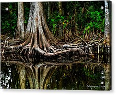 Cypress Roots Acrylic Print by Christopher Holmes